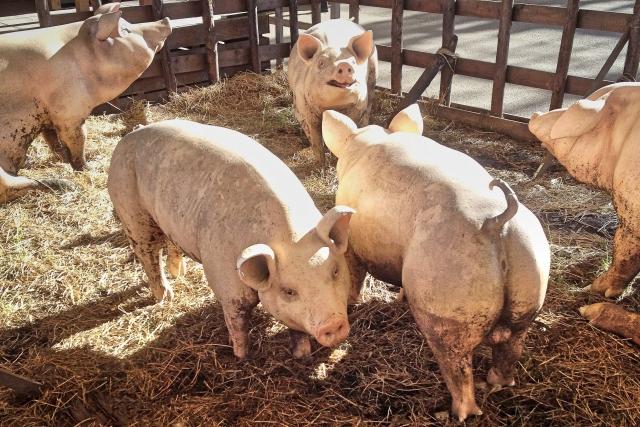 養豚場の悪臭対策